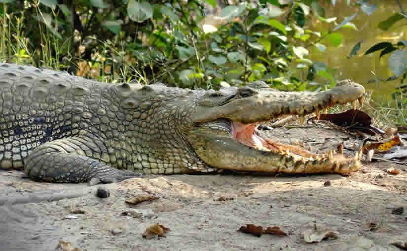 103-Crocodile Bhitarkanika Wildlife