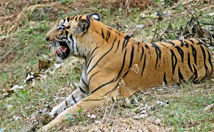 106-TIGER-IN-SIMLIPAL-NATIONAL-PARK